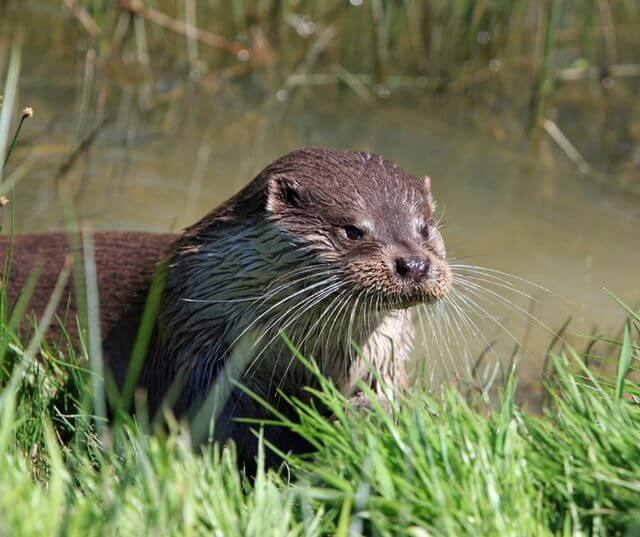 otter-animal-close-up-portrait-57466