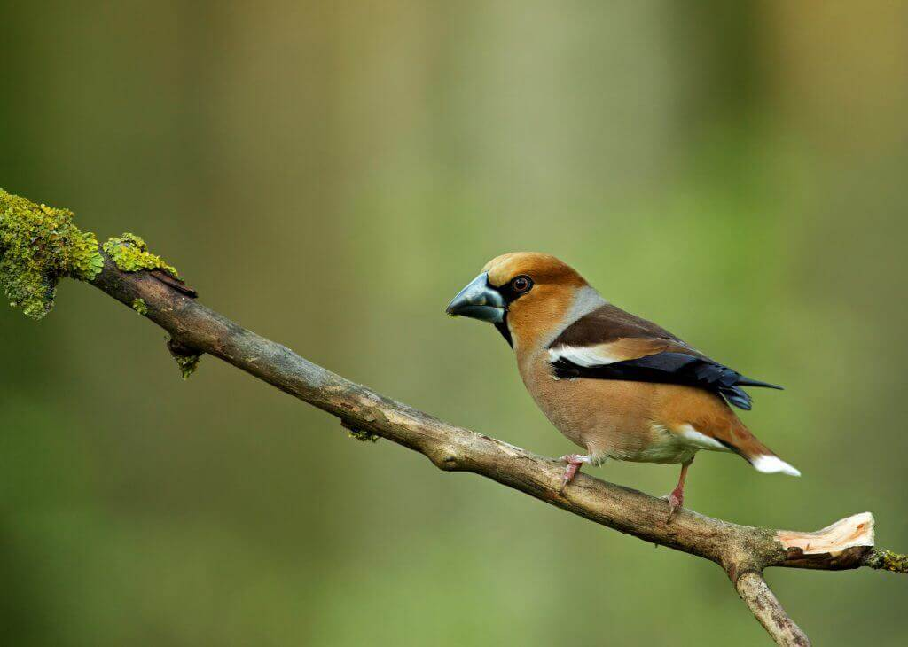 Hawfinch in the Lake District